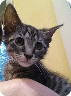 Domestic Shorthair Kitten for adoption in Cherry Hill, New Jersey - Lenny