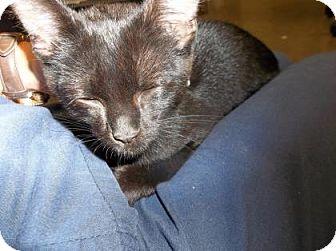Domestic Shorthair Cat for adoption in Rapid City, South Dakota - Tot