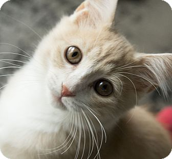 Domestic Mediumhair Kitten for adoption in Chicago, Illinois - Mochi