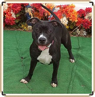 American Pit Bull Terrier Mix Dog for adoption in Marietta, Georgia - GODDESS