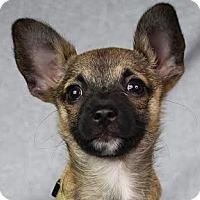Adopt A Pet :: Tippi - Minneapolis, MN