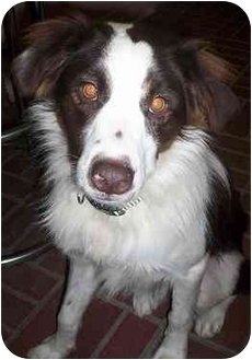 Border Collie Mix Dog for adoption in Honesdale, Pennsylvania - Cowboy
