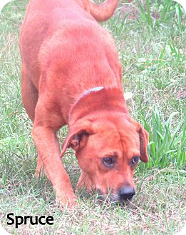 Retriever (Unknown Type) Mix Dog for adoption in Georgetown, South Carolina - Spruce