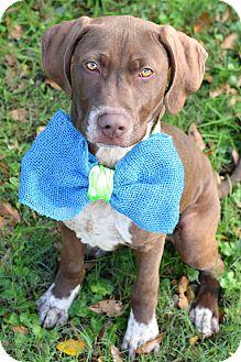 Pointer/Labrador Retriever Mix Puppy for adoption in Glastonbury, Connecticut - Butch