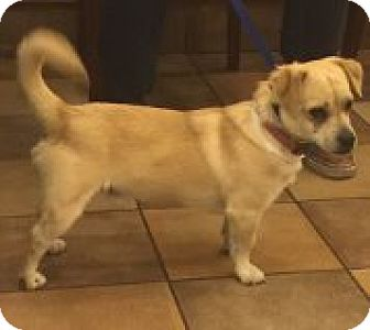 Pug Mix Dog for adoption in Las Vegas, Nevada - Tuck
