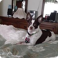 Adopt A Pet :: Gracie (Chi) - richmond, VA
