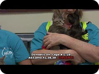Domestic Shorthair Kitten for adoption in Newnan City, Georgia - Bobbie