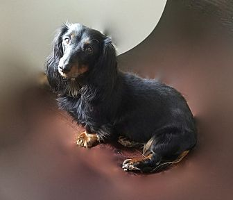 Dachshund Dog for adoption in Louisville, Colorado - Isabell