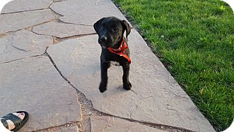 Labrador Retriever Mix Puppy for adoption in Evergreen, Colorado - Crisp