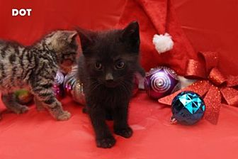 Domestic Shorthair Kitten for adoption in Kenner, Louisiana - Dot aka Max