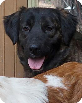Australian Shepherd Mix Dog for adoption in Kittery, Maine - Harley