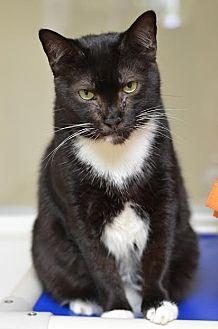 Domestic Shorthair Cat for adoption in Atlanta, Georgia - Domino 11725