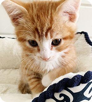 Domestic Shorthair Kitten for adoption in Meridian, Idaho - Ben