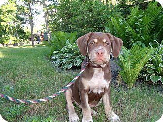 American Bulldog/Labrador Retriever Mix Puppy for adoption in Worcester, Massachusetts - TaNNer