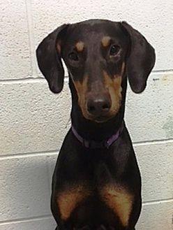 Doberman Pinscher Puppy for adoption in Fort Worth, Texas - Lacey