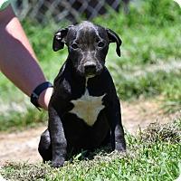 Adopt A Pet :: Bellamy - Groton, MA