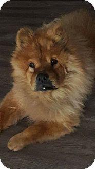 Chow Chow Dog for adoption in Sacramento, California - Vandal
