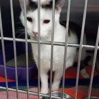 Adopt A Pet :: Clara - Cody, WY