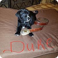Adopt A Pet :: Puppy Dukester - Austin, TX