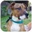 Photo 4 - Shepherd (Unknown Type)/Rhodesian Ridgeback Mix Puppy for adoption in Berkeley, California - Boots