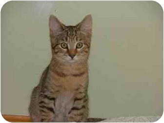 Domestic Shorthair Kitten for adoption in Winthrop, Massachusetts - Feisty