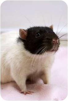 Rat for adoption in Murphysboro, Illinois - Charlie