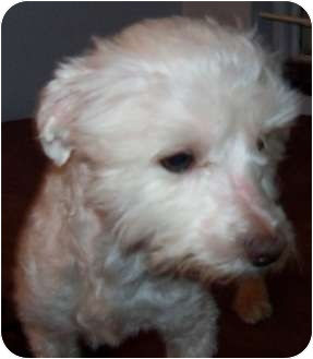 Maltese Mix Dog for adoption in Detroit, Michigan - Snoopy