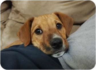 Terrier (Unknown Type, Medium) Mix Puppy for adoption in kennebunkport, Maine - Andy - PENDING!