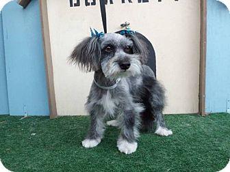 Schnauzer (Miniature)/Yorkie, Yorkshire Terrier Mix Dog for adoption in Tumwater, Washington - Happy