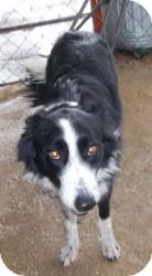 Border Collie Mix Dog for adoption in Lockhart, Texas - Lefty