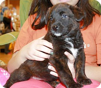 Shepherd (Unknown Type)/Labrador Retriever Mix Puppy for adoption in Olive Branch, Mississippi - Masquerade Such A Beauty!