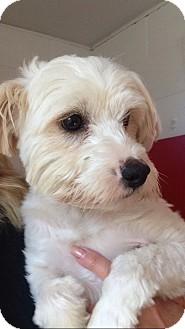 Maltese/Poodle (Miniature) Mix Dog for adoption in El Segundo, California - Buddy