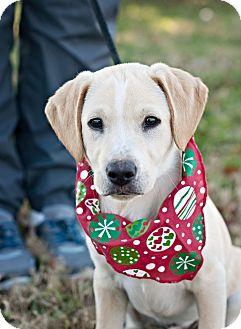 Labrador Retriever Mix Puppy for adoption in Portsmouth, Rhode Island - Billy