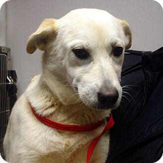 Labrador Retriever Mix Dog for adoption in Manassas, Virginia - Jazzy