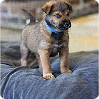 Adopt A Pet :: Sable - Portland, OR