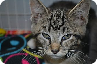 Domestic Shorthair Kitten for adoption in Edwardsville, Illinois - Europa