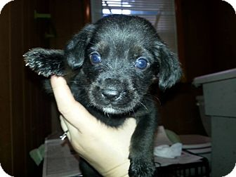 Labrador Retriever/Retriever (Unknown Type) Mix Puppy for adoption in Wappingers, New York - Panther