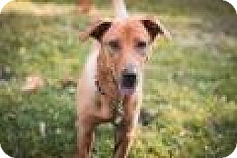 Labrador Retriever Mix Puppy for adoption in Bloomingdale, New Jersey - Peaches
