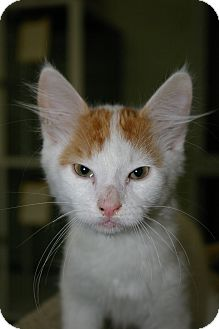 Domestic Shorthair Cat for adoption in Brooksville, Florida - Crom