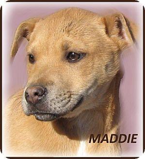 Labrador Retriever/Jack Russell Terrier Mix Puppy for adoption in Marlborough, Massachusetts - Maddie- A Sweet Puppy!