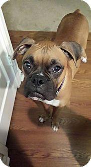Boxer Mix Dog for adoption in Seattle, Washington - Barney