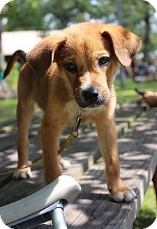 Jack Russell Terrier Mix Puppy for adoption in New Oxford, Pennsylvania - Cooper