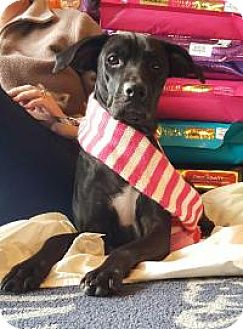 Labrador Retriever/Boxer Mix Dog for adoption in Marlton, New Jersey - Izzy