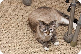 Siamese Cat for adoption in Waynesville, North Carolina - Wills