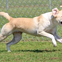 Labrador Retriever/Hound (Unknown Type) Mix Dog for adoption in Savannah, Tennessee - YaYa