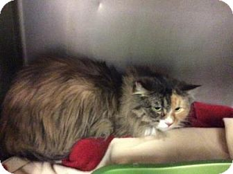 Domestic Longhair Cat for adoption in Janesville, Wisconsin - Bella