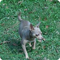 Adopt A Pet :: BeBe - Ormond Beach, FL