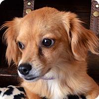 Adopt A Pet :: Shasta-ADOPTION PENDING - Bridgeton, MO
