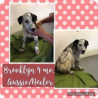 Australian Shepherd/Blue Heeler Mix Puppy for adoption in Mesa, Arizona - BROOKLYN