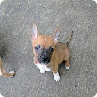 German Shepherd Dog Mix Puppy for adoption in MCLEAN, Virginia - Aspen